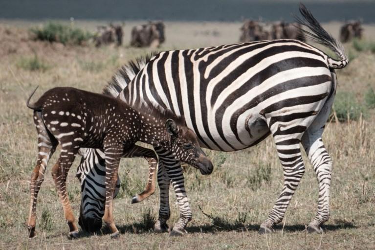 Een zebra met bolletjes en dat is slecht nieuws
