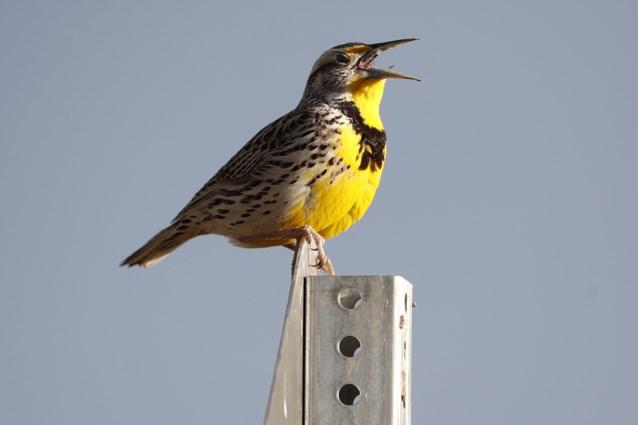 In halve eeuw tijd drie miljard vogels verdwenen in Noord-Amerika