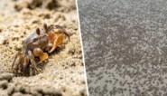 """Man ziet tot eigen verbazing hoe duizenden krabben strand inpalmen: """"Vreesde dat ze me zouden aanvallen"""""""