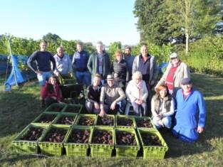 Eerste volwaardige oogst op wijngoed Mikken: 700 kilogram druiven