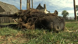 VIDEO. Vijf schapen doodgebeten in Donk bij Herk-de-Stad