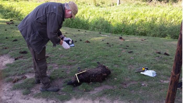 Vijf schapen doodgebeten in Herk-de-Stad