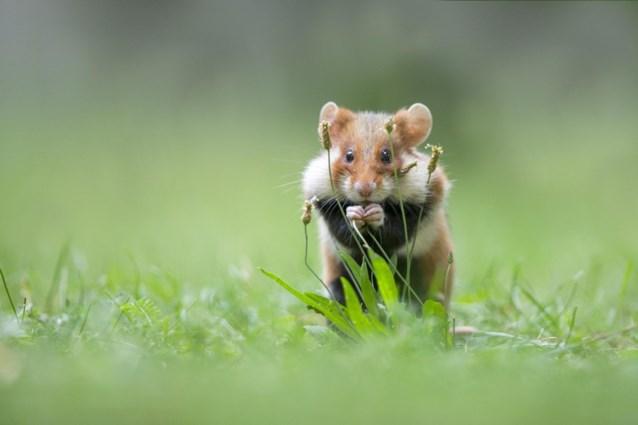 Reddingsplan van Vlaamse overheid amper succesvol: veel uitgezette hamsters al dood