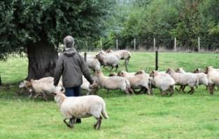 """Herder Pieter redt houtlandschaap van uitsterven: """"Ik slacht er wel eens eentje"""""""