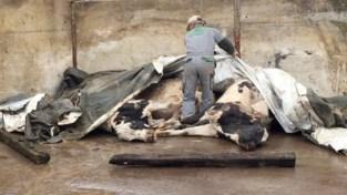 """Vijf koeien sterven nadat ze taxus hadden gegeten: """"Gooi geen tuinafval in de weide, het is gif voor de dieren"""""""