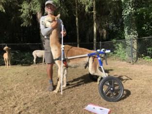 Crowdfunding voor verlamde alpaca kan nog duwtje gebruiken