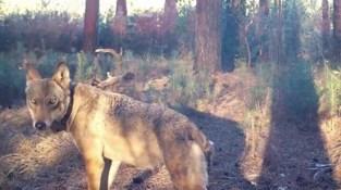 """Wolvin Naya werd bedreigd: """"Als het probleem met de wolf niet opgelost wordt, nemen we zelf maatregelen"""""""