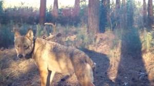Wolvin Naya kreeg doodsbedreigingen van jagers