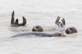 """Sea Life Blankenberge vangt acht aangespoelde zeehonden op: """"Zwakste woog amper acht kilogram"""""""