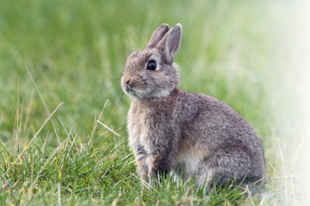 Onderzoek bij konijnen bevestigt: vrouwelijk orgasme lijkt cadeautje van de evolutie