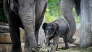 Zoo Planckendael en Pairi Daiza strijden samen tegen mysterieus en dodelijk olifantenvirus