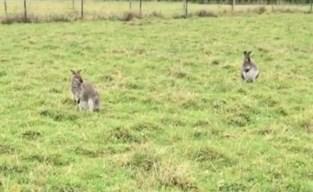 """Ontsnapte wallaby Joey zet buurt op stelten: """"De varkens helpen hem telkens ontsnappen"""""""