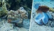 Koning van de camouflage: fascinerende beelden tonen hoe octopus zijn prooien voor de gek houdt