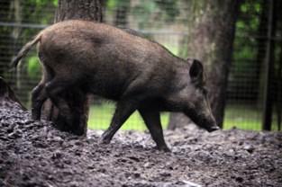 Stad Genk wil overlast door everzwijnen aanpakken