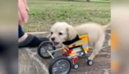 Meisje maakt LEGO-rolstoel voor puppy zonder voorpoten