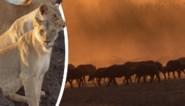 Vlaming filmt op safari uitzonderlijk grote kudde buffels, tot er plots leeuwen opduiken