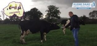 Schepen van Nijlen interviewt koe (om sluikstort onder aandacht te brengen)