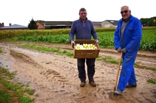 """Witloofboer Frans (73) zit nog steeds met knieën in de grond: """"De jonge generatie wil dat niet meer doen"""""""