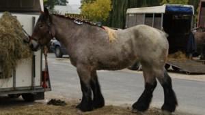 Deinze voor de 91e maal paardenhoofdstad