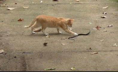 """Moedige kat gaat strijd aan met slang """"om kinderen te beschermen"""""""