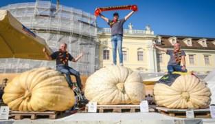 De drie beste pompoenkwekers van Europa komen allemaal uit… Kasterlee