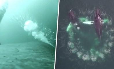 """'Vissende' walvissen gefilmd dankzij drones en camera's met zuignappen: """"Baanbrekend"""""""