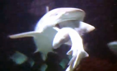 """Haai eet soortgenoot op voor ogen van bezoekers Antwerpse zoo: """"Het zijn en blijven jagers"""""""