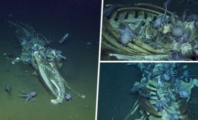 Unieke beelden: duikers filmen hoe octopussen dode walvis opvreten op zeebodem