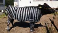 Studie: koe met zebrastrepen wordt minder gestoken
