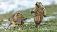 De dansende marmot