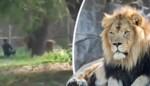 'Dronken' man springt in leeuwenkooi: verzorgers kunnen hem redden door roofdier te verdoven
