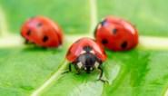 Waarom je plots overal lieveheersbeestjes ziet - en dat eigenlijk slecht nieuws is