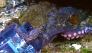 Student wil onderwaterwereld filmen met GoPro, maar dat is buiten deze nieuwsgierige octopus gerekend