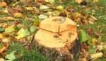 VIDEO. U vraagt, wij kappen. Meer dan 80 bomen sneuvelen na bevraging bij buurtbewoners