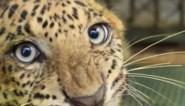 """Luipaard dat verlamd raakte na aanval opnieuw losgelaten in het wild: """"Zijn herstel was wonderbaarlijk om te zien"""""""