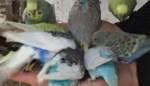 """Twintig parkieten uit volière gestolen: """"Dieven zijn er met onze jongste en meest kleurrijke vogels vandoor"""""""