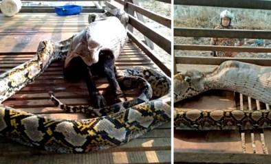 Boeren schrikken zich rot door enorme python die smult van geit