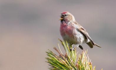 Monsterboetes en zelfs telefoontaps ingezet om zeldzaam vogeltje te redden