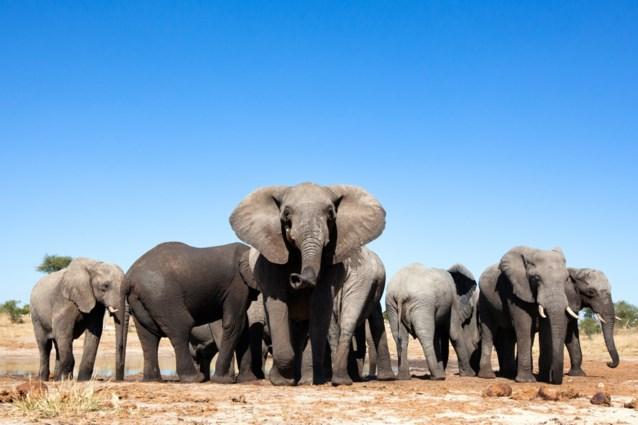 55 olifanten sterven door droogte in Zimbabwe