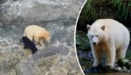 Toeristen leggen uiterst zeldzame en 'heilige' beer vast tijdens trektocht