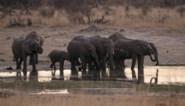 55 olifanten sterven door droogte