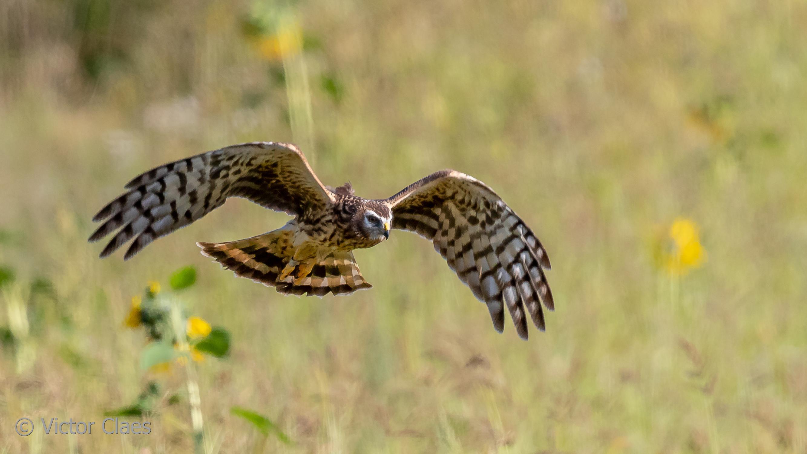 Kiekendief Anna slaat vleugels uit (en wij kunnen haar volgen)