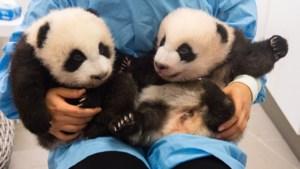 Pandatweeling in Pairi Daiza moet naam krijgen en jij mag meebeslissen