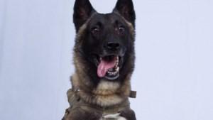 """Nederlandse hondenopleider trainde Mechelse herder die ISIS-leider opjoeg: """"Ik herkende hem meteen in tweet van Trump"""""""