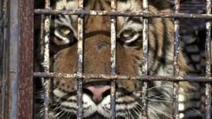 Tien tijgers in erbarmelijke conditie tegengehouden aan Poolse grens