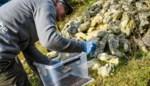 Europese primeur: zeldzame vroedmeesterpadden uitgezet om soort te redden