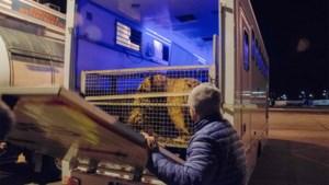 Poolse zoo biedt tijdelijk onderdak aan gestrande tijgers