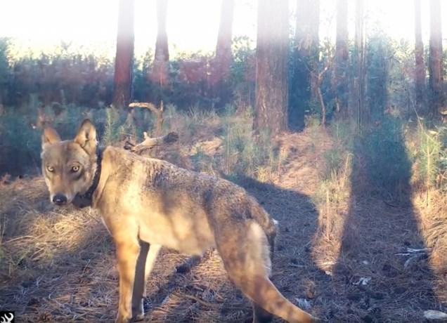 Vlamingen keren zich tegen jagers sinds dood van wolvin Naya