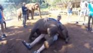 Dit baby olifantje denkt dat hij een schoothond is