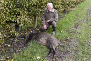 Aangereden everzwijn dood aangetroffen in fruitplantage